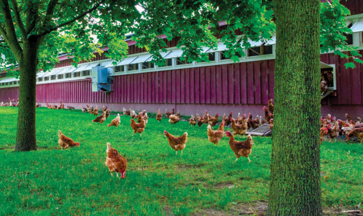 The Country Hen's evolution to raising hens outdoors